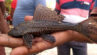 Pterygoplichthys sp.