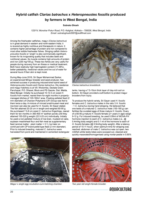 Hybrid catfish Clarias batrachus x Heteropneustes fossilis